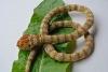 Schlangenhalsband gold beige braun geringelt